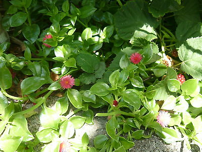 "2 x Aptenia Cordifolia Succulent cuttings ~ ""Baby sun rose""~""Red apple""/edible"