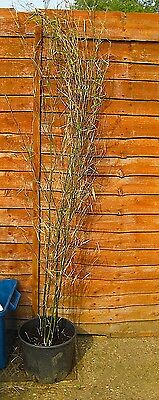 Tall 6 foot Bamboo in 10 litre pot Lot 3