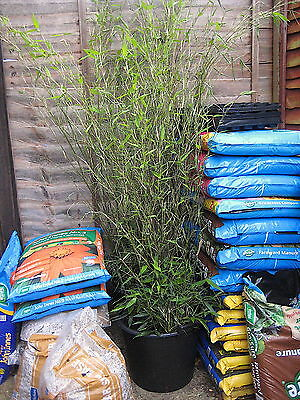 2 Tall 8 foot Bamboo in 30 litre pots Lot 4