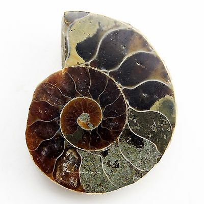 29 mm Natural Ammonite Fossil  ( Untreated ) / R5717