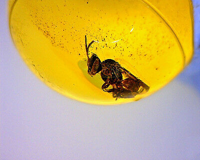 Dominican Amber Bead With Fossil Stingless Bee Insect Inclusion 0.58g C1