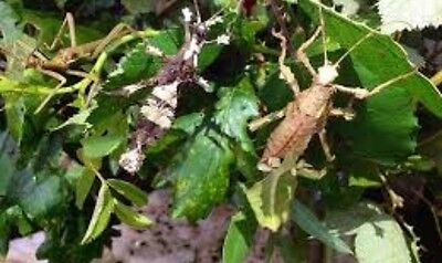 X5 juvenile jungle nymphs live stick insects