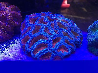 Marine Stunning Bright Acan Colony Coral  Lps Sps  Soft Coral