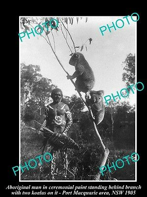 Old Large Historical Photo Of Aboriginal Man With Koalas In Tree, Nsw 1905