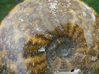 """fossil  ammonite V LARGE  Cretaceous Cleoniceras Ammonite sp.  over 5""""  inches !"""