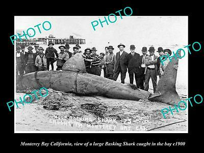 OLD LARGE HISTORIC PHOTO OF MONTEREY BAY CALIFORNIA, BASKING SHARK CAPTURE c1900