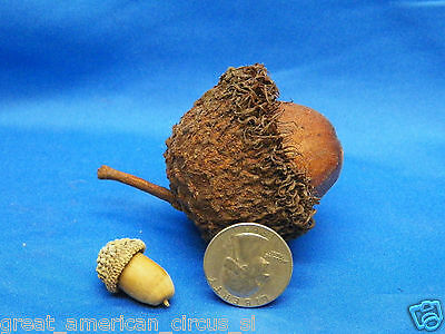 Real Huge Giant Acorn Nut,freak,deformed,not Sideshow Gaff,ooak,bizzare,prop, Nr