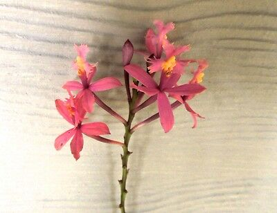 X15 Crucifix Orchid Stems - 5 Mixed Colour Bundle (Large Reed Stem Epidendrum)