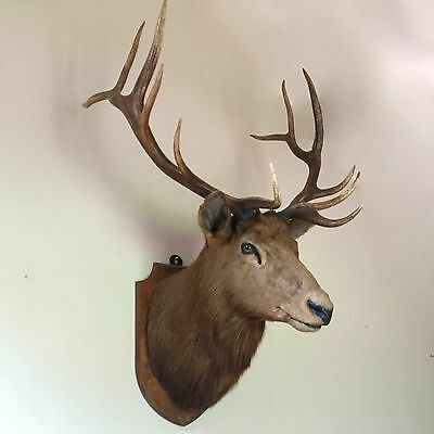 A Huge Royal Stag By Edward Gerrard - Best Ever - Excellent Quality Taxidermy