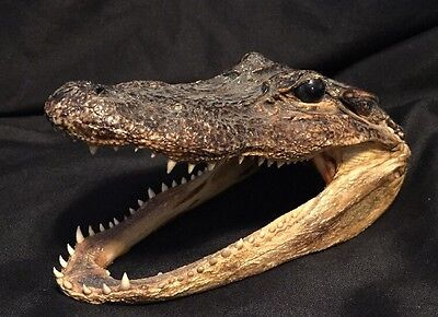 6 Inch Alligator Head From Small Gator Real