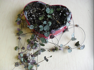 STRING/ CHAIN OF HEARTS - unrooted cuttings~2X 20cm long stems PULS 1 Stem FREE