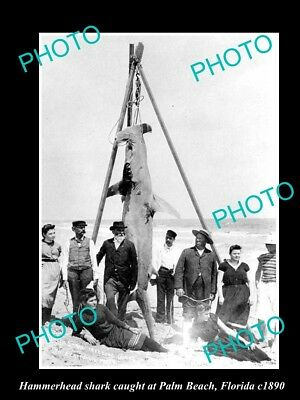 OLD LARGE HISTORICAL GAME FISHING PHOTO OF HAMMERHEAD SHARK CATCH c1890 FLORIDA