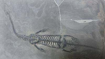 Keichousaurus hui from Xingyi, Guizhou, China - Triassic Period