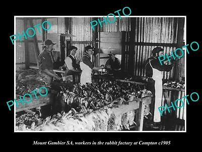 OLD LARGE HISTORIC PHOTO OF MOUNT GAMBIER SA, THE COMPTON RABBIT Co WORKERS 1905