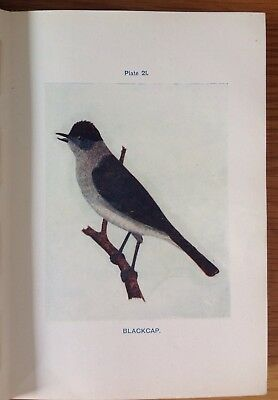 Blackcap, 1921, Vintage Bird Print, Coloured, Boraston