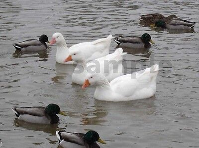 1 White Geese Goose Ducks Di Picture Photo Image Auction for Project