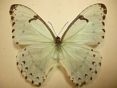 Real Butterflies/Insects Non set folded Large White/Blue Morpho catenaria