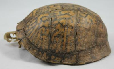 Leopard (?) Tortoise Shell w Skull - or Eastern Box Turtle - Untouched Skeleton
