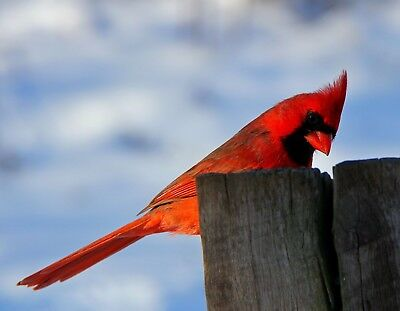 METAL MAGNET Male Cardinal On Fence Post Bird Birds Red MAGNET