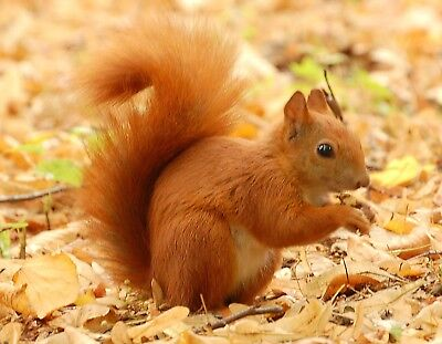 METAL MAGNET Red Squirrel Standing In Leaves Poland Travel MAGNET