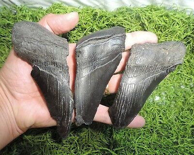 Lot Of 3 Partial Megalodon Fossil Sharks Teeth / Tooth