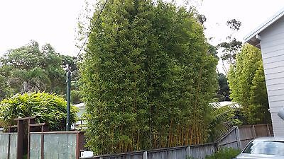 2 x Slender Weavers Gracilis Bamboo Plants. Screening, hedge. clumping.