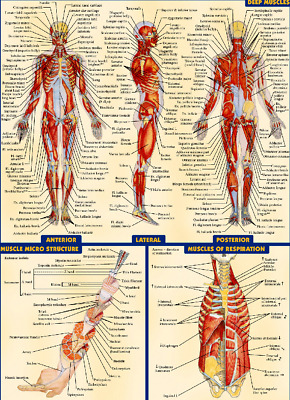 Human Deep Muscles SYSTEM POSTER ANATOMICAL CHART HUMAN BODY MEDICAL NEW