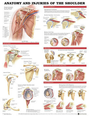 Human Anatomy and Injuries of Shoulder Poster Anatomical Chart Human Body Midcal