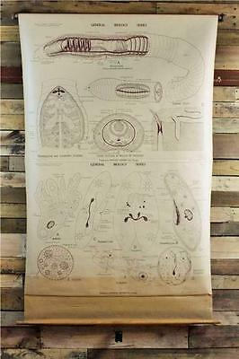 Antique Science~Biology Double Wall Chart~EarthWorm~One Cell Animal~Geppert~9