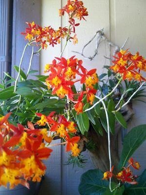 2 X CRUCIFIX ORCHID - 'SUNBURST' FIRE STAR Epidendrum Radicans GIANT Orchid