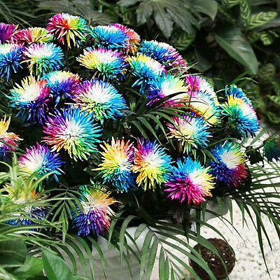 300 Seads rare Special unusual Colorful Rainbow Chrysanthemum Flower Seeds.