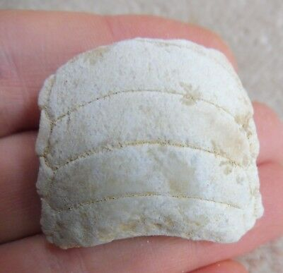 Ray Mouth Plate - Morocco - Eocene