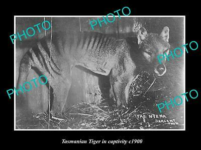 OLD LARGE HISTORIC PHOTO OF A TASMANIAN TIGER IN CAPTIVITY c1900 1