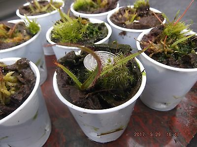 "Drosera regia 'Big Easy' - So. African ""KING SUNDEW"" EXTRA-RARE 1-2"" Juveniles"