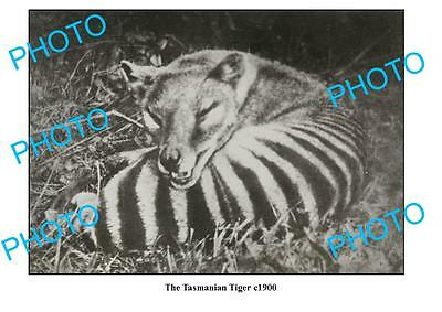 OLD LARGE PHOTO FEATURING TASMANIAN TIGER LYING DOWN c1900
