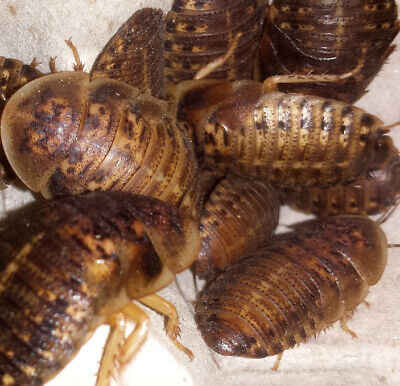 DUBIA ROACHES **TOP QUALITY GUARANTEED* My Dubias are fed with High Protien Feed