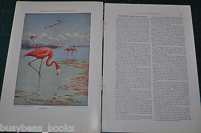 1932 magazine article THE LARGE WADING BIRDS, info, color art