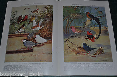 1938 magazine article, CANARIES and similar birds, color art Canary