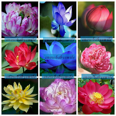 9 Kinds 90+ Seeds Lotus Seeds Bowl Nelumbo Nucifera Pond Aquarium Flower Water