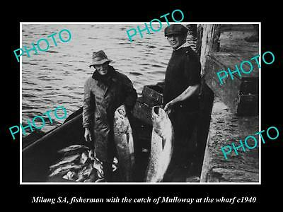 OLD LARGE HISTORIC PHOTO OF MILANG SA, FISHERMEN WITH CATCH OF MULLOWAY c1940