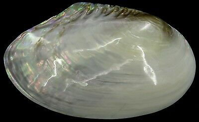 FS Anodonta Sp Freshwater Mussel 246mm Rainbow color Highly Polished one side