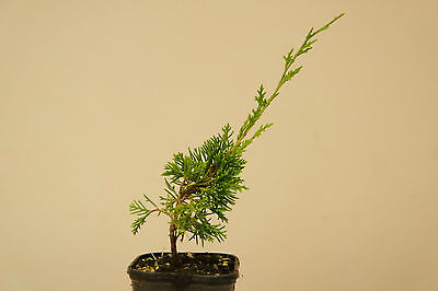 Itoigawa Juniper In 7CM Pot, Bonsai Tree Starter Material Juniperus Chinensis