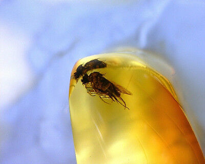 Baltic Amber Fossil Piece With Rare Phoridae Fly Insect Inclusion BH46 0.25.
