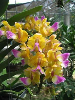 Orchids plants  Aerides houlletiana Orchid species Rare Wild Orchid x2 plants