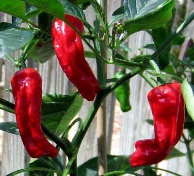 25+ Heirloom Hand Picked Shishito Premium Pepper Seeds-D 102