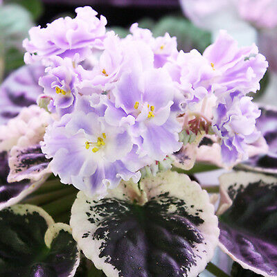 ☘️ D60 Pair Of Ian Ruslan - Russian Variety African Violet Leaves ☘️