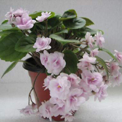 ☘️ J20 Pair Of Robs Vanilla Trail African Violet Leaves ☘️