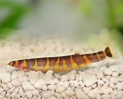 Kuhli Loach - Tropical Fish - Tank Cleaner - Community Fish