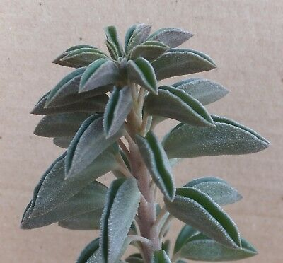 PEPEROMIA WOLFGANG-KRAHNII 7cm beautifully leaved Peruvian leaf succulent
