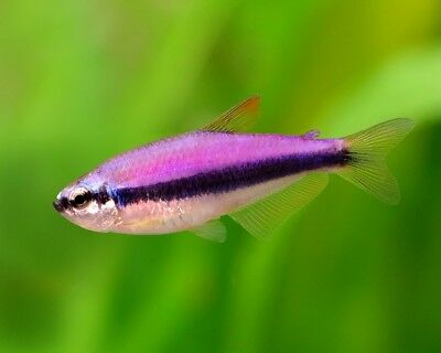 Purple Emperor Tetra - Tropical Fish - Peaceful & Beautiful - Community Fish
